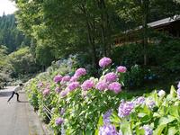 21世紀の森公園 紫陽花 2