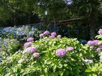 21世紀の森公園 紫陽花 3
