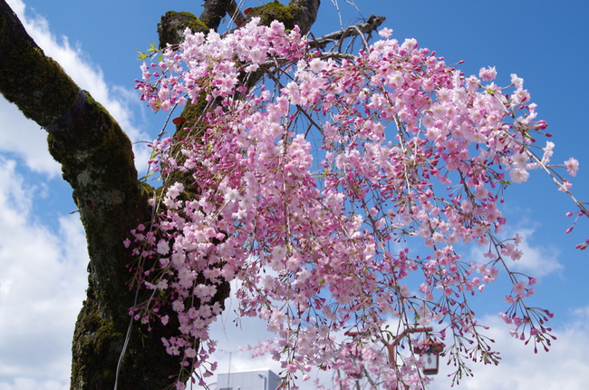 伊奈波神社参道 枝垂桜