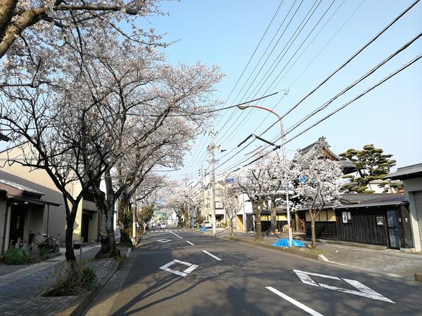 木造町 桜 1